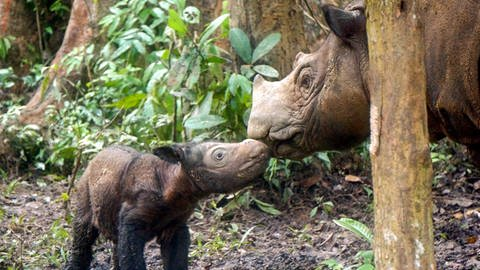 Sumatra-Nashorn-Baby und seine Mutter  (Foto: Pressestelle, Wilhelma Stuttgart/International Rhino Foundation)