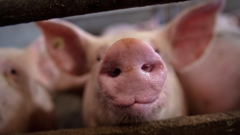 Ein Schwein steckt seine Nase durch Gitterstäbe im Stall.