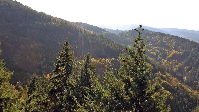 20 Jahre nach dem Sturm Lothar hat sich der Schwarzwald wieder erholt (Foto: SWR)