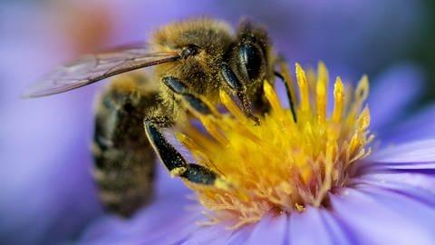 Eine Biene sammelt am Pollen von einer Blüte (Foto: dpa Bildfunk, picture alliance / Monika Skolimowska/dpa-Zentralbild/dpa)