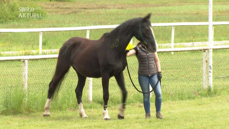Ein Pferd wird für eine Versteigerung präsentiert (Foto: SWR, SWR)