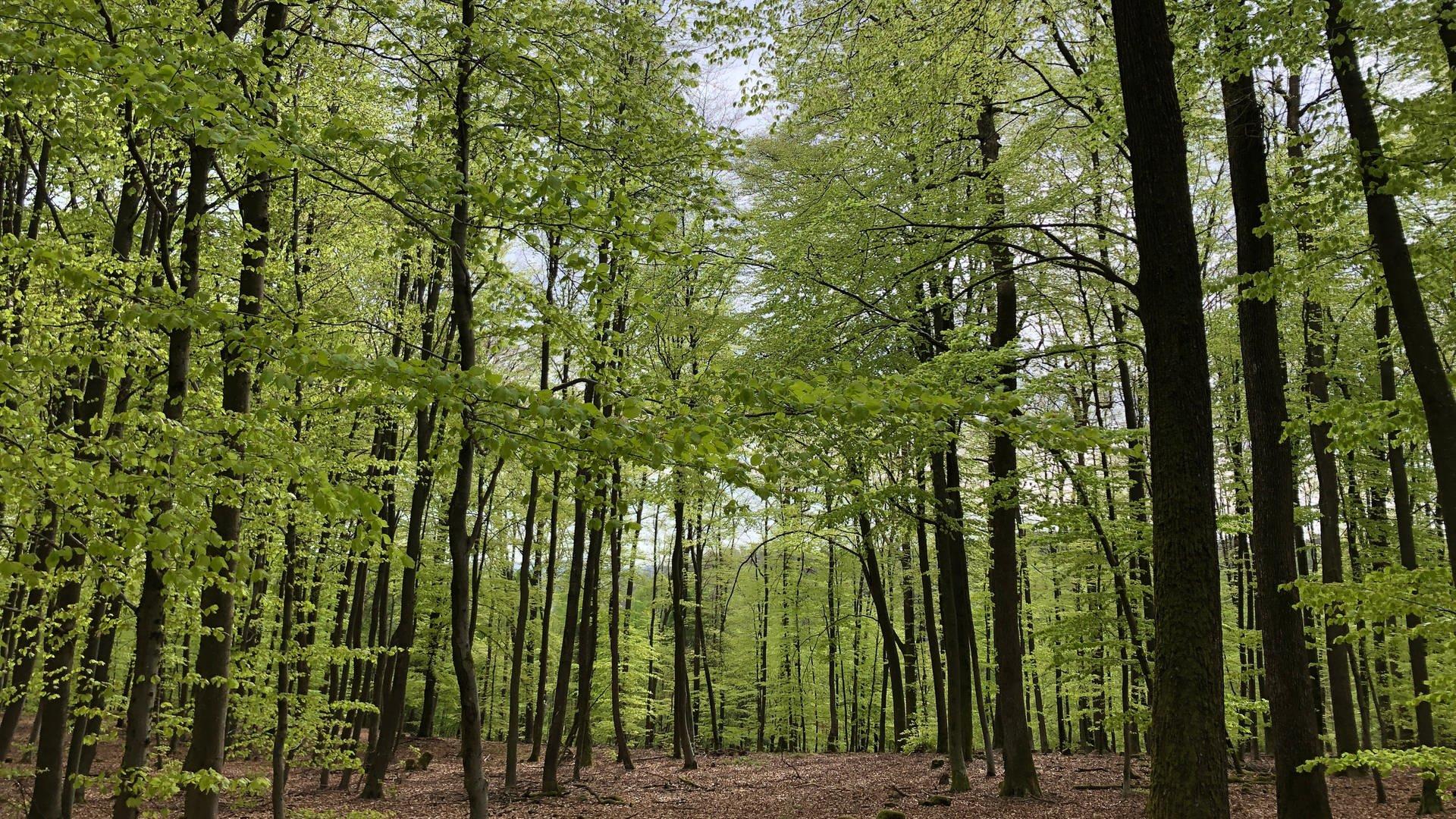 Wird aus dem Pfälzerwald eine Savanne?