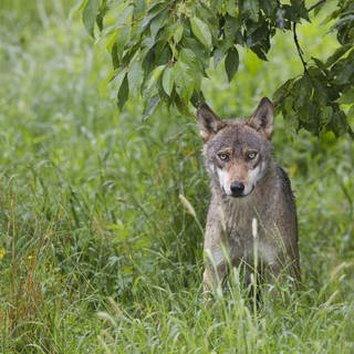 Wolf (Beispielbild) (Foto: picture-alliance / Reportdienste, picture alliance/imageBROKER)