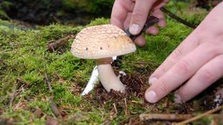 Ein Pilzsammler schneidet einen Perlpilz ab. Die Pilzsaison ist in diesem Jahr außergewöhnlich früh gestartet. (Foto: dpa Bildfunk, picture alliance / dpa | Federico Gambarini)