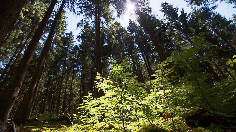 Nationalpark Hunsrück-Hochwald (Foto: SWR)