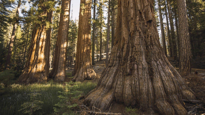 Bäume (hier ein Sequoia-Mammutbaum im Yosemite National Park) können sehr viel älter werden als Menschen (Foto: Imago, imago images / Westend61)