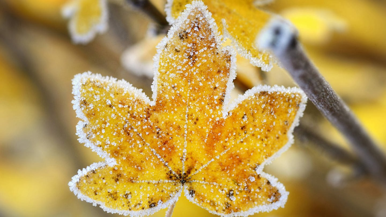 Feld-Ahorn (Acer campestre), herbstliches Blatt mit Raureif (Foto: Imago, imago/blickwinkel)