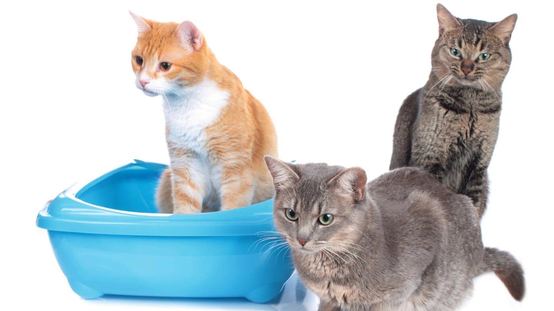 Drei Katzen und nur ein Katzenklo – das ist für die Tiere nicht ideal (Foto: Imago, imago images / Panthermedia)