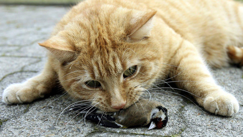 Eine Katze hat einen Vogel erbeutet (Foto: Imago, imago images / Marco Stepniak)