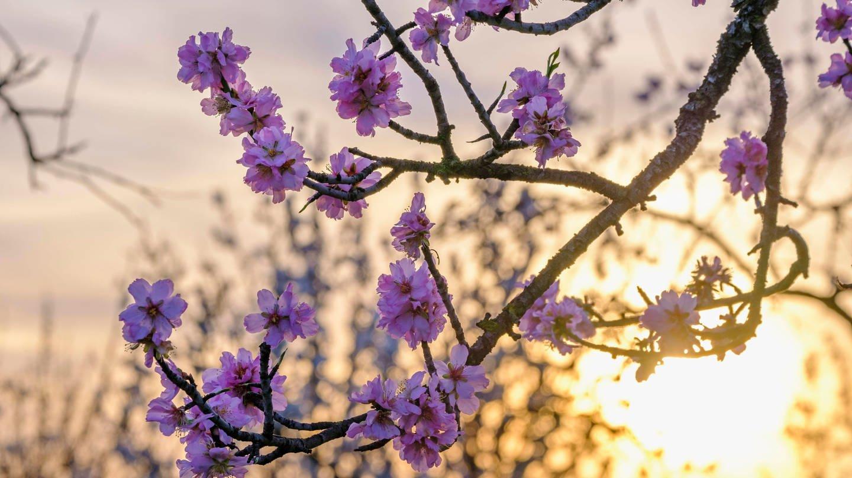 Mandelblüten bei Sonnenaufgang.