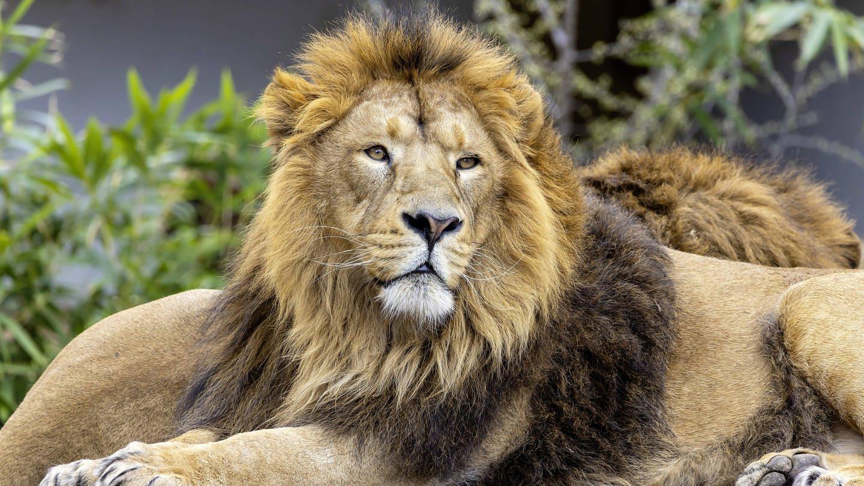 Asiatischer Löwe (Panthera leo persica) in der Stuttgarter Wilhelma (Foto: Imago, IMAGO / Arnulf Hettrich)
