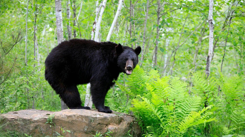 Amerikanischer Schwarzbär (Ursus americanus): Durch regelmäßiges Zittern trainieren Bären ihre Muskeln auch im Winterschlaf. So beugen sie einem zu starken Muskelabbau vor.