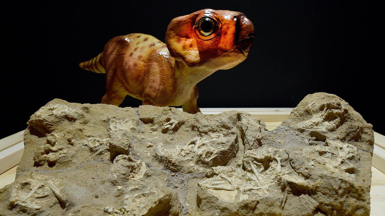 Versteinerte Skelette von Saurierembryonen mit Nest (Obere Kreide, 76 Mio. Jahre, Fundorte Nordamerika und Asien) werden 2016 in einer neuen Ausstellung im Dinosaurier-Park Münchehagen in der Region Hannover (Niedersachsen) präsentiert