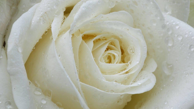 Weiße Rose (Foto: picture-alliance / Reportdienste, picture alliance/prisma)