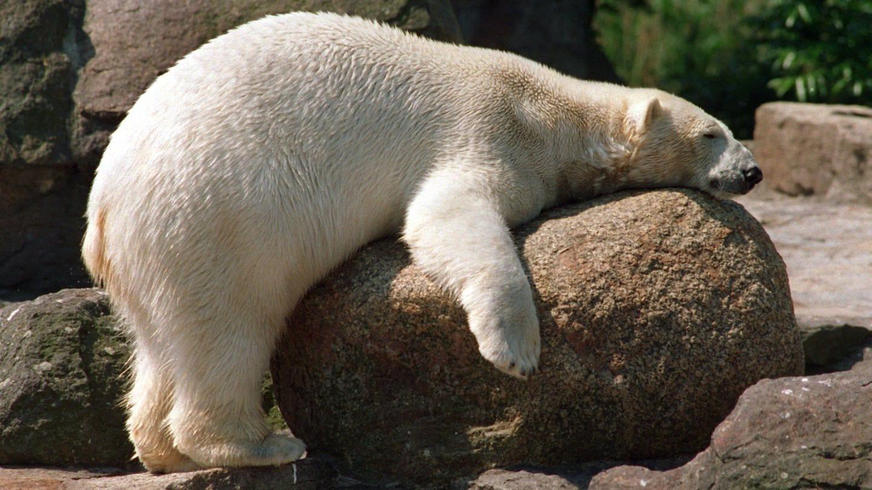 Eisbär kämpft im Berliner Zoo mit der Sommerhitze