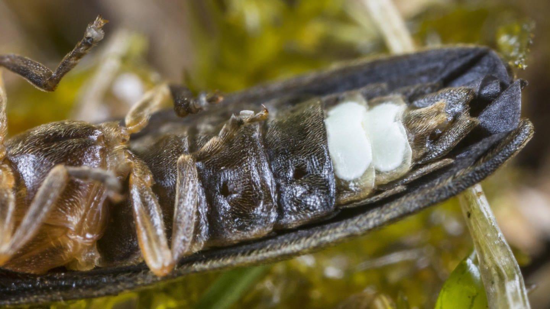 Johanniswürmchen (Lamprohiza splendidula, Phausis splendidula), liegt auf dem Rücken und zeit sein Leuchtorgan (Foto: picture-alliance / Reportdienste, picture alliance / blickwinkel)