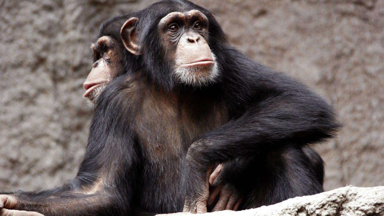 Schimpanse im Leipziger Zoo (Foto: Imago, Imago images / Scherf)