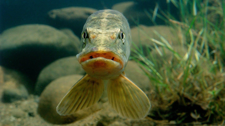 Ein Knochenfisch, der als Raubfisch in Süßgewässern lebt, schaut in die Kamera (Foto: Imago, imageBROKER/Christian GUY via www.imago-images.de)