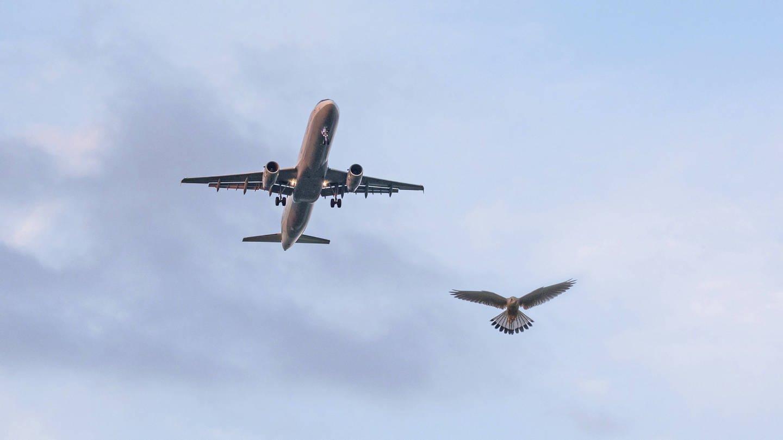 Ein Turmfalke in der Luft neben einem Airbus 320 (Foto: Imago, imago/blickwinkel)