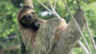 Faultier-Mutter mit ihrem Baby (Foto: Imago, imago/Danita Delimont)