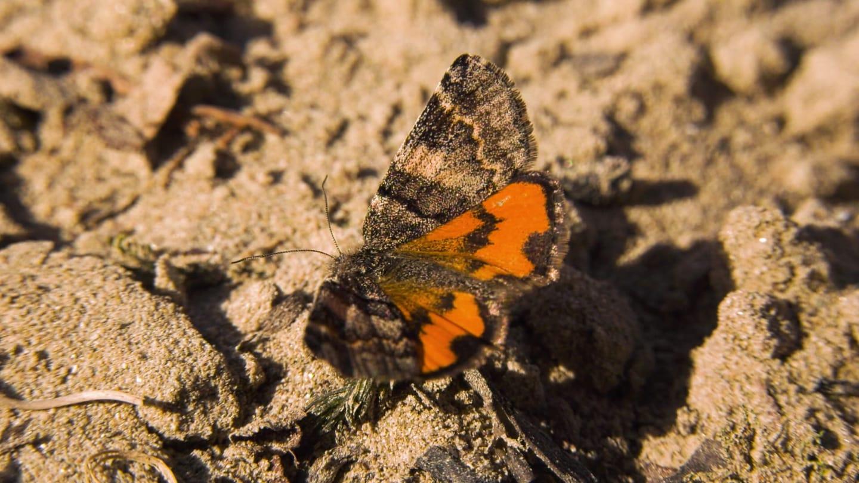 Neue Schmetterlingsart entdeckt (Foto: SWR)