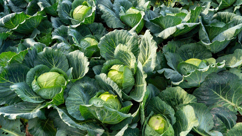 Feld mit Weißkohl: Welche Pflanzen helfen gegen Warzen? Und was hilft bei Schnittwunden?