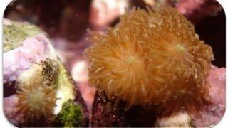 Korallen (Foto: Die Steinkorallen wurden aus Australien importiert und die haben sich im Aquarium von Nietzer und seinem Team so wohl gefühlt, dass es mit dem Massenablaichen geklappt hat.)