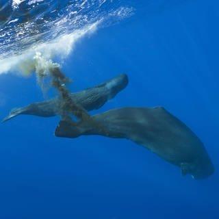 Ein Wal scheidet Exkremente aus. (Foto: Imago, Imago/OceanPhoto)