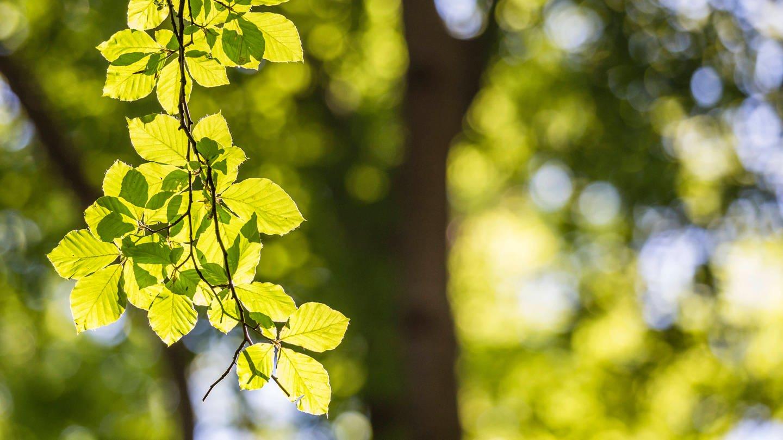Blätterzweig einer Rotbuche: Werfen europäische Laubbäume in den Tropen ihre Blätter ab?