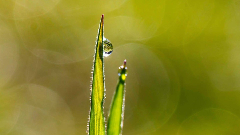 Warum bleiben Tautropfen an der Grasspitze hängen?
