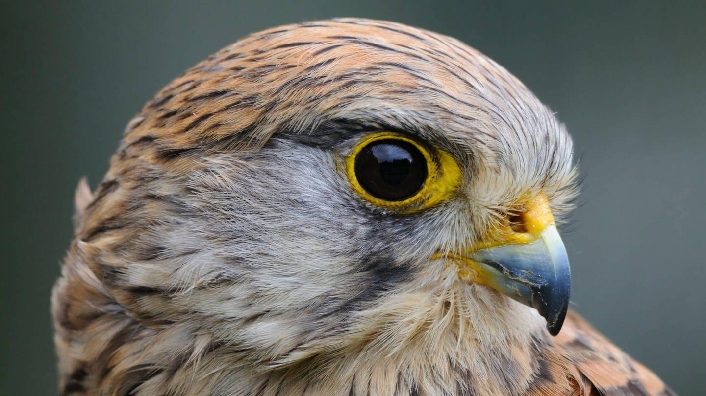 Nahaufnahme Auge eines Greifvogels: Wie weit können Vögel sehen?