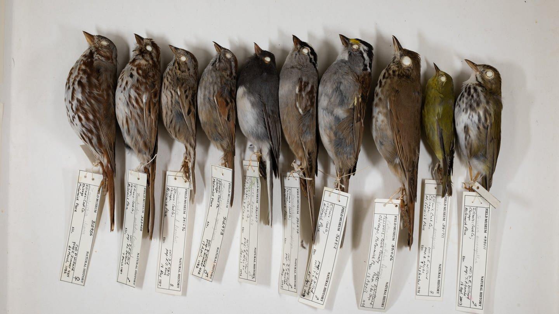 Dave Willard sammelt seit über 40 Jahren tote Vögel (Foto: Pressestelle, Field Museum, Michigan)