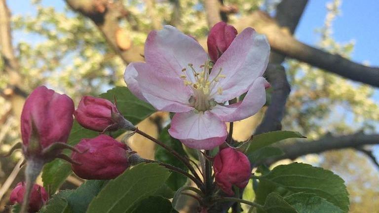 Apfelblüte in Wittislingen (Foto: SWR, SWR -)