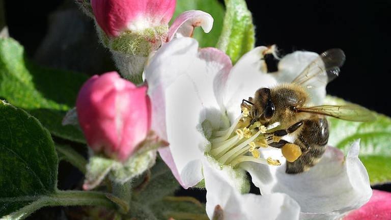 Biene in einer Vollblüte in Mannheim