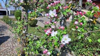 Apfelblüten auf der Schwäbischen Alb in Bisingen am 13. April 2020 (Foto: SWR)