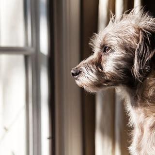 Ein Hund schaut traurig aus dem Fenster. (Foto: Getty Images, Thinkstock -)