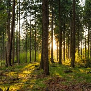 Sonnenaufgang in einem Wald (Foto: Getty Images, Getty Images - Wlad74)