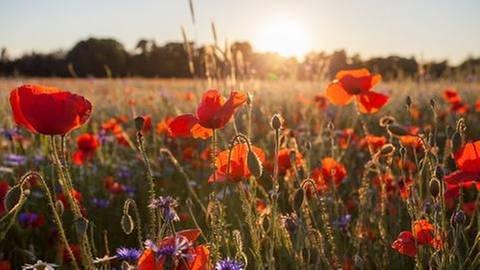 Mohnblumen vor einer Getreidewiese (Foto: Getty Images, Getty Images -)