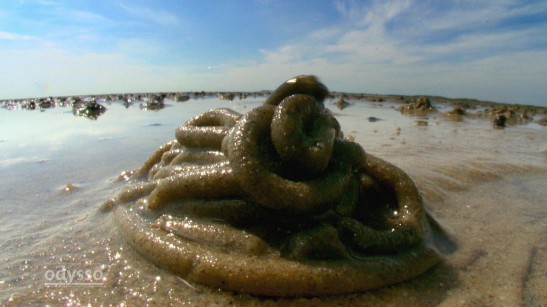Wie der Wattwurm zum Lebensretter wurde (Foto: SWR)