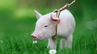 Haustier, Nutztier: Wo liegt der Unterschied? (Foto: SWR)