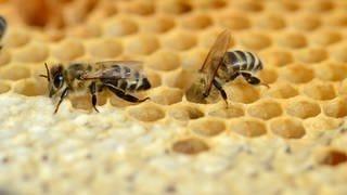 Bienen gehen auf soziale Distanz, wenn sie mit Erregern infizierte Artgenossen am Geruch erkennen. (Foto: Imago, imago images/Nature Picture Library)