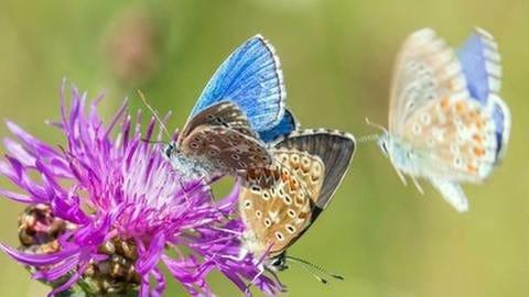 Bläulinge an einer Flockenblume (Foto: SWR, SWR - Andreas Hartl)